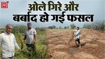 सैकड़ों एकड़ फसल पर बरपा कुदरत का कहर, खेतों में जीरी हुई बर्बाद, किसानों ने की गिरदावरी की मांग