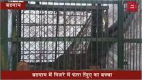 पिंजरे में फंसा तेंदुए का बच्चा, एक हफ्ते पहले 9 वर्षीय बच्चे को बनाया शिकार