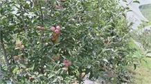 सेब के बगीचों में समर प्रूनिंग का वक़्त:विशेषज्ञ