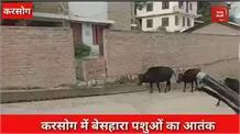 करसोग में बेसहारा पशुओं का आतंक,लोगों का सड़कों पर चलना हुआ मुश्किल