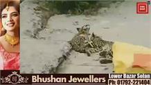 बिलासपुर के जंगल में मृत मिले शावकों के जोड़े का विभाग ने किया दाह संस्कार...