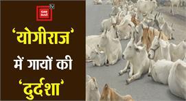 'योगीराज' में गायों की 'दुर्दशा':...