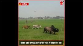 छुट्टा पशुओं से किसान परेशान , Lallu...