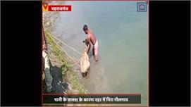 #Maharajganj:  नहर में गिरी नीलगाय,...