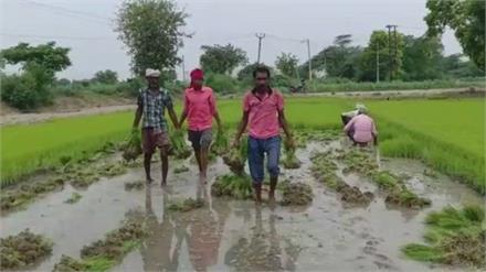 धान की सीधी बिजाई करने पर Farmer को मिलेगी 5 हजार प्रति एकड़ प्रोत्साहन राशि: कृषि विभाग